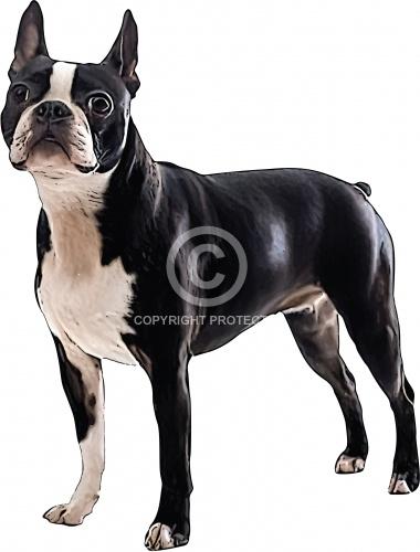 Boston Terrier 02