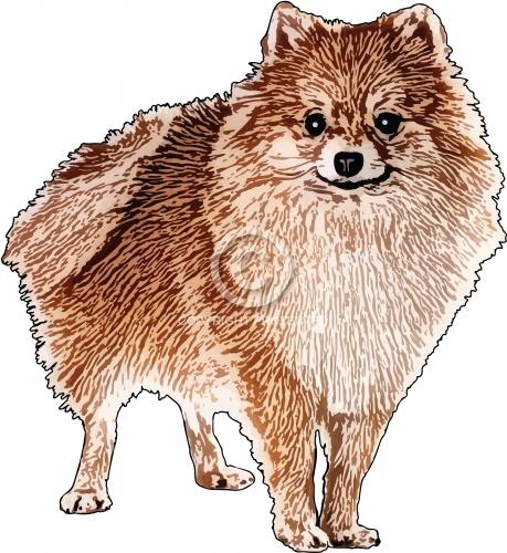 Pomeranian 02