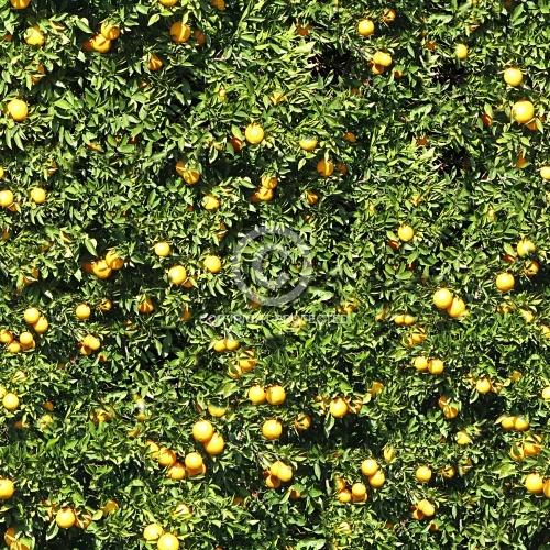 Orange Tree  01