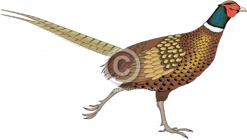 Pheasant 02