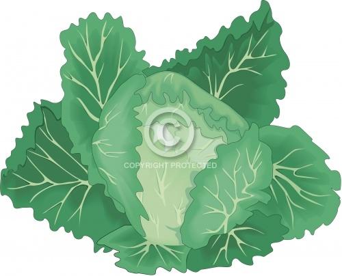 Cabbage 01