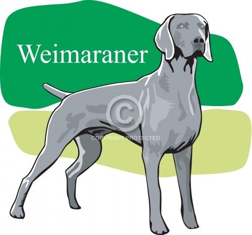 Weimaraner 02