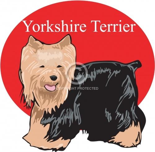 Yorkshire Terrier 01
