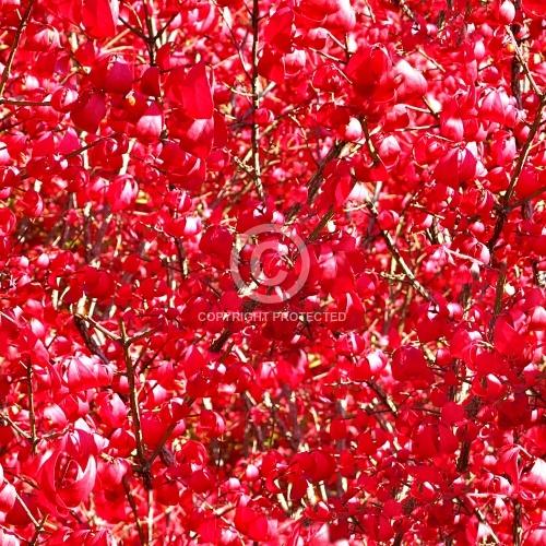 Red Shrub 01