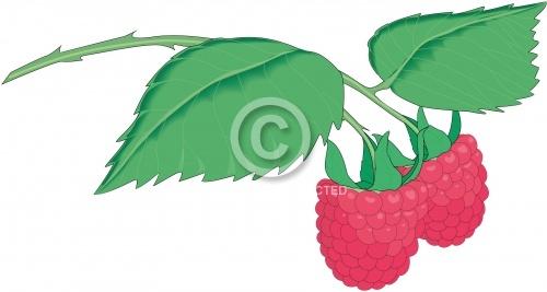 Raspberries 01