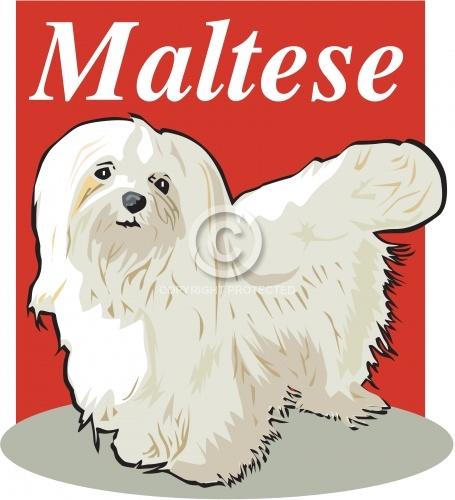 Maltese 03
