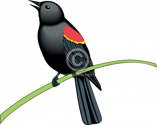 Red Winged Blackbird 01