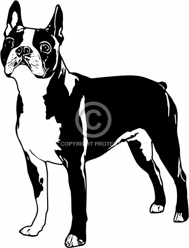 Boston Terrier 01