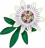 Passion Flower 01