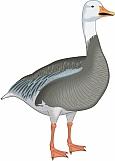 Goose 05