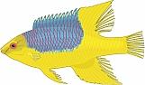 Hogfish 01
