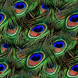 Peacock Feathers Seamless Texture Tile