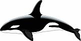 Killer Whale 01