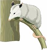 Opossum 01
