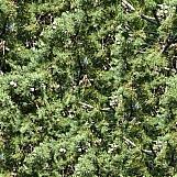 Cedar Trees 01
