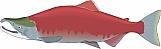 Salmon 04