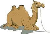 Camel 05
