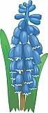 Hyacinth 01