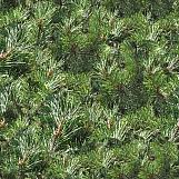 Pine Trees 01