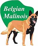 Belgian Malinois 03
