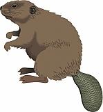 Beaver 01