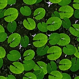 Lily Pads 01