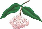 Wax Plant 01