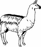 Llama 01