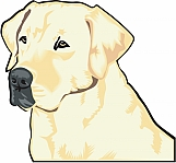 Labrador Retriever 03