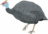 Guinea Fowl 01