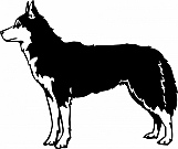 Siberian Husky 01