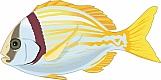 Porkfish 01