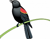 Red Winged Blackbird 01