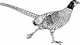Pheasant 01