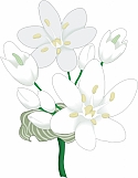 Allium 01