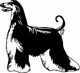 Afghan Hound 02