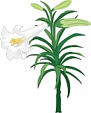 Easter Lily 01
