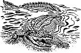 Alligator 05