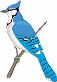 Blue Jay 02