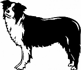 Border Collie 001