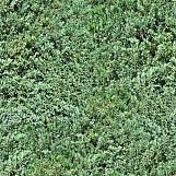 Evergreens 01