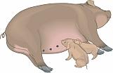 Pig 05