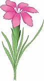 Grass Pink 01