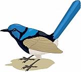 Blue Wren 01