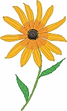 Black Eyed Susan 01