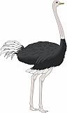 Ostrich 02