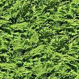 Ferns 01